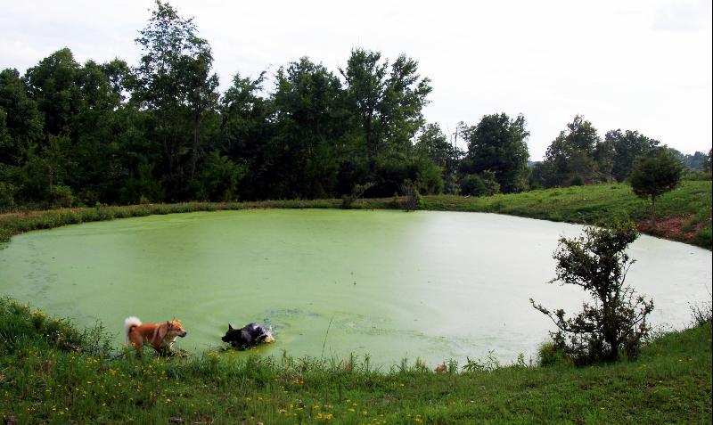 WARREN LAND_DOGS PLAY IN THE MAIN FARM POND ON WARREN LAND_A018_sized for Internet